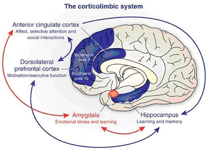 Corticolimbic system
